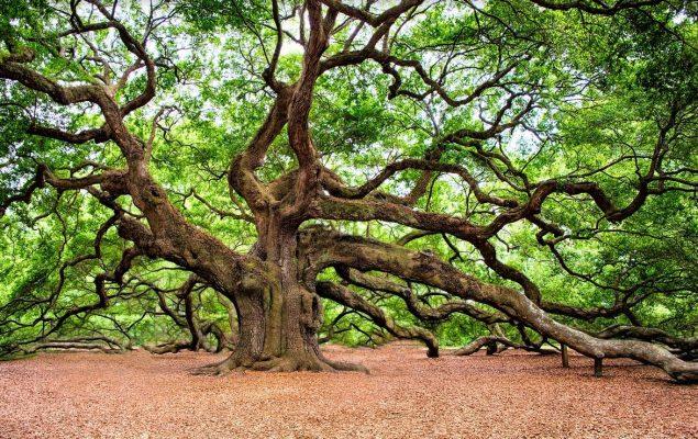 Chêne dans une forêt